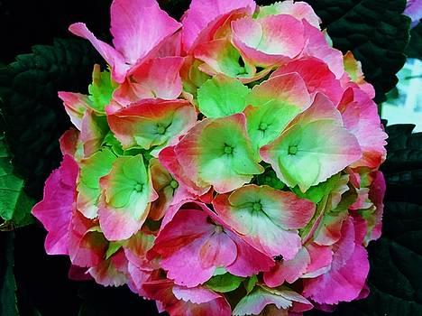 Hydrangea 2 by Vijay Sharon Govender
