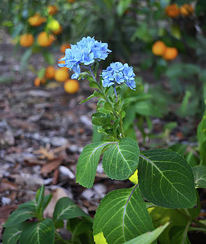 Hydrangea and Oranges by Aimee L Maher Photography and Art Visit ALMGallerydotcom