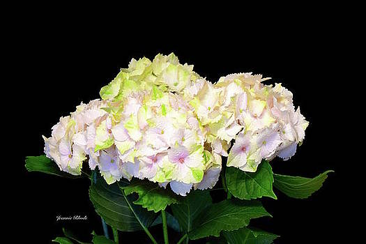 Hydrangea Flowers in Soft Pink by Jeannie Rhode Photography