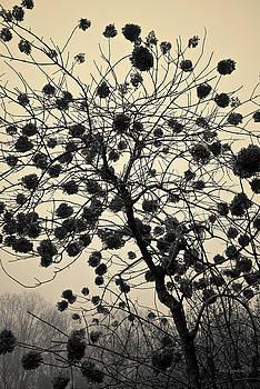 David Gordon - Hydrangea I Toned