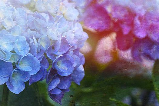 Hydrangea by Sheryl Bergman