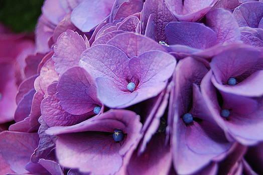 Hydrangeas by Jocelyn Friis