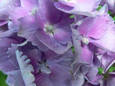 Hydrangeas  by Patty  Leclerc