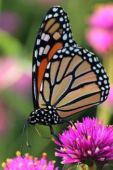 Rosanne Jordan - I Love Monarch Butterflies