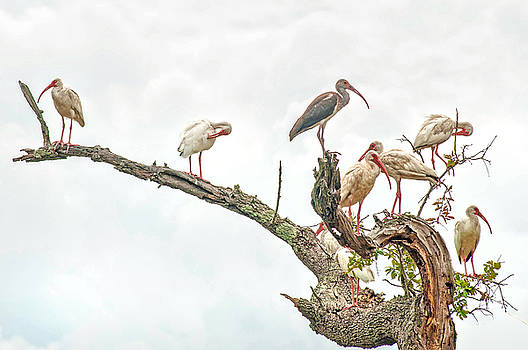 Ibis Gathering by Donnie Smith
