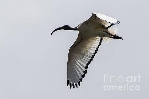 Ibis in Flight by Pravine Chester