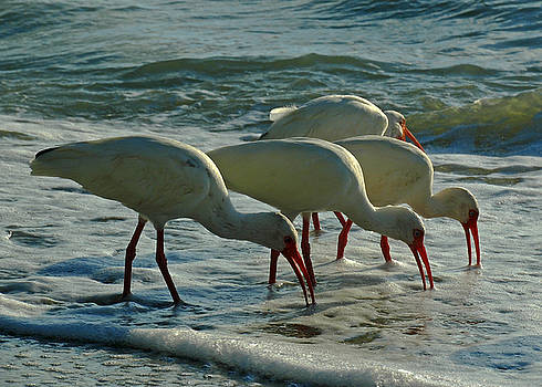 Juergen Roth - Ibises at Bowman