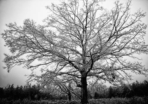 Ice Tree by Rod Kaye