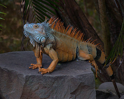 Iguana 2 by Jim Walls PhotoArtist