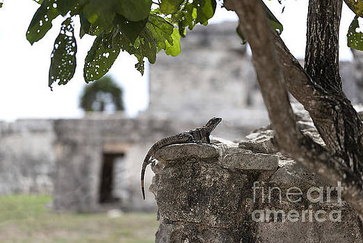 Iguana Perched on Mayan Ruins in Tulum Mexico by Brandon Alms