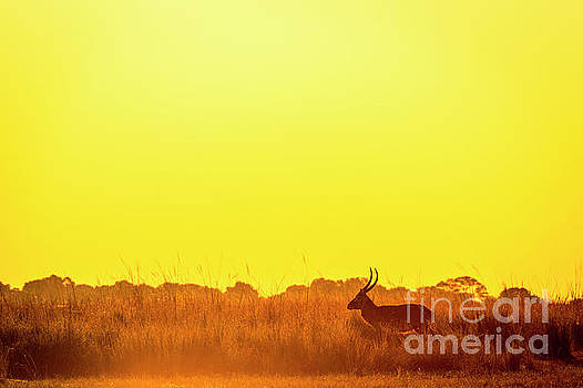 Impala Sunset Silhouette by Tim Hester