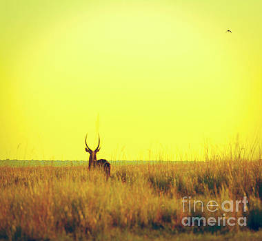 Impala Sunset Vintage Print by Tim Hester