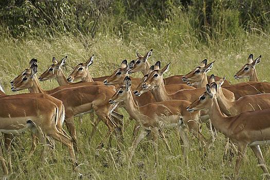 Michele Burgess - Impalas on the Move