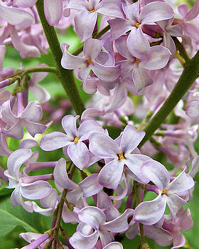 In A Sea of Lilacs by Kathi Mirto