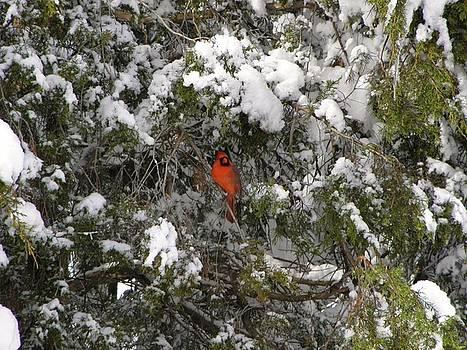 In the Cedars by John Williams