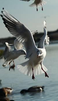 Martina Fagan - Incoming gull