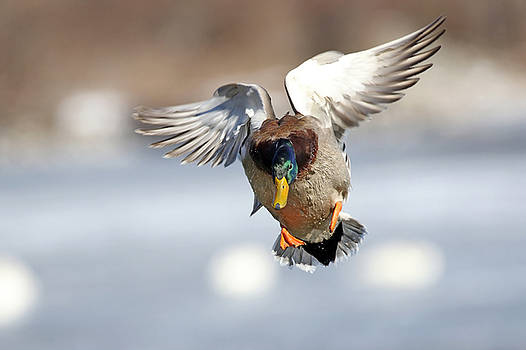 Incoming Mallard by Jim Nelson