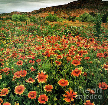 Indian Blankets Wildflowers  by Ruth Housley