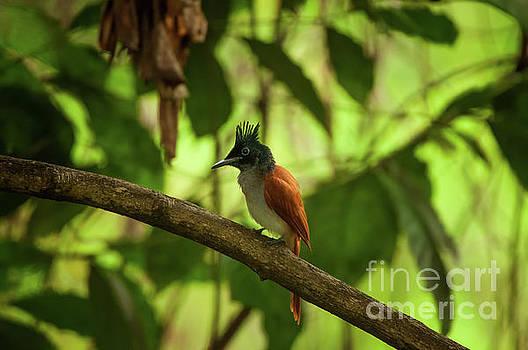 Indian paradise flycatcher by Venura Herath