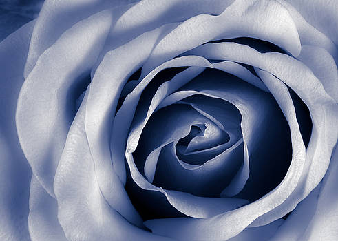 Indigo Rose by Jim Hughes