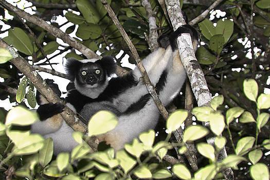 Michele Burgess - Indri Indri