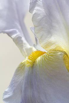 Inner Glow Lavender Iris by Phyllis Denton