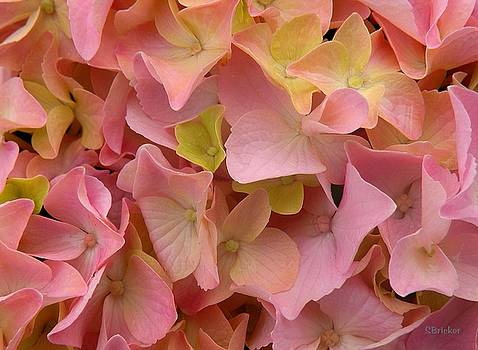 Into the Pink Hydrangea by Scott  Bricker