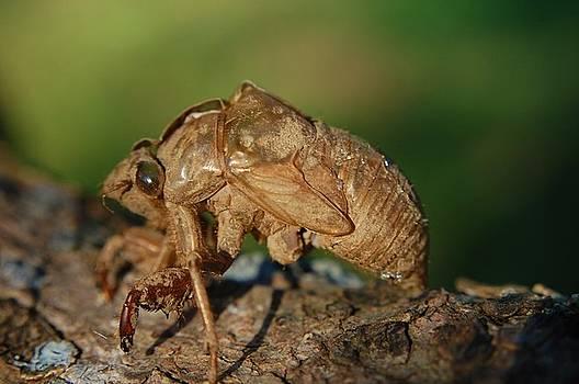 Iowa Cicada by Jame Hayes