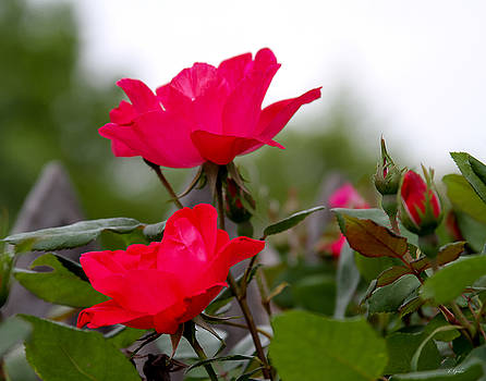 TONY GRIDER - Iridescent Pink Rose Flower Blooms