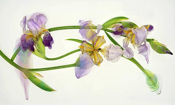 Iris Abstraction by Leda Robertson