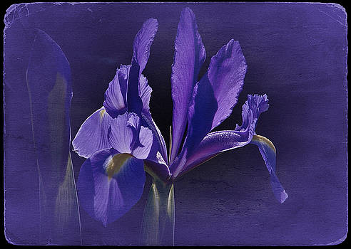 Iris Blue 2016 by Richard Cummings