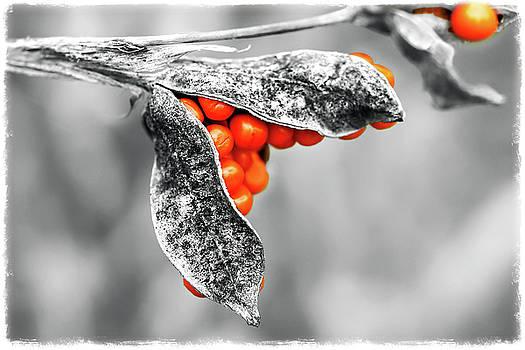 Iris foetidissima - Stinking Gladwyn Toned by Susie Peek