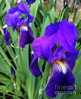 Iris Germanica by Jasna Dragun