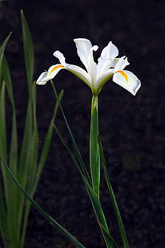 James Steele - Iris In My Glory