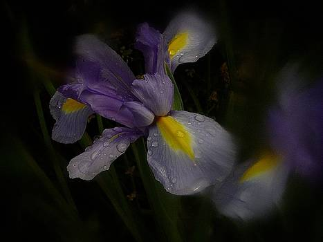 Iris in the Rain by Richard Cummings