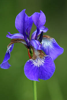 Iris by Jouko Mikkola