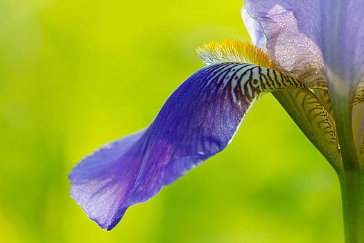 Iris Wave by Penny Meyers