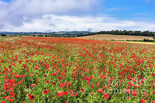 Isle Of Wight Poppies by English Landscapes