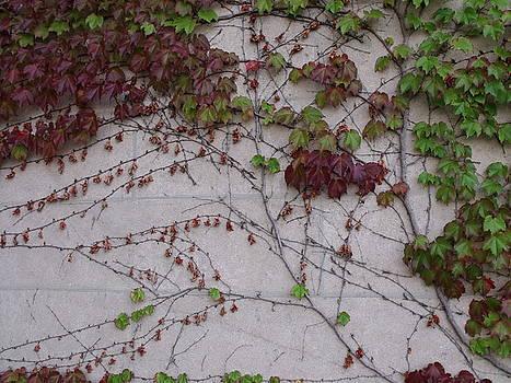 Ivy Wall II by Anna Villarreal Garbis