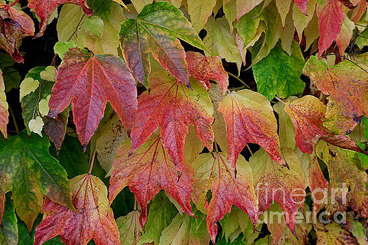 Ivy's Leaves by Tracy  Hall