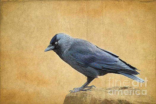 Jackdaw by Lisa Cockrell