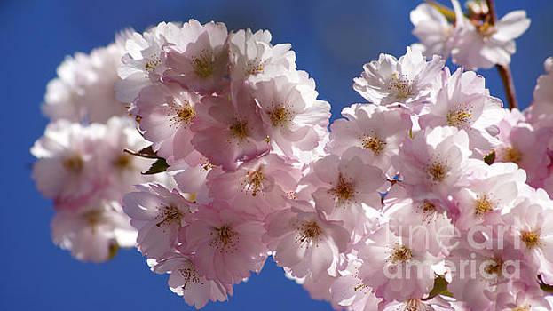 Japanese flowering cherry Prunus serrulata by Eva-Maria Di Bella