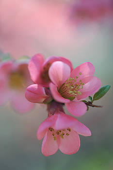 Jenny Rainbow - Japanese Flowering Quince