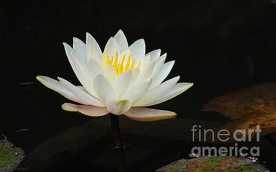 Japanese Garden Lily  by Ward Photography