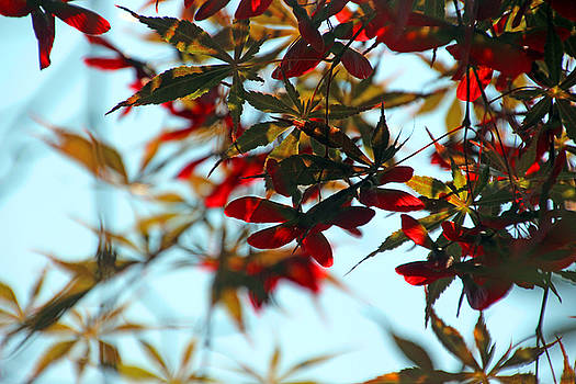 Japanese Maple 1592 by Carolyn Stagger Cokley