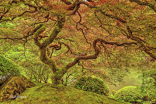 Japanese Maple by David Simpson