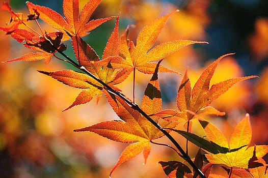 Jenny Rainbow - Japanese Maple