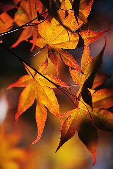 Jenny Rainbow - Japanese Maple Leaves 1