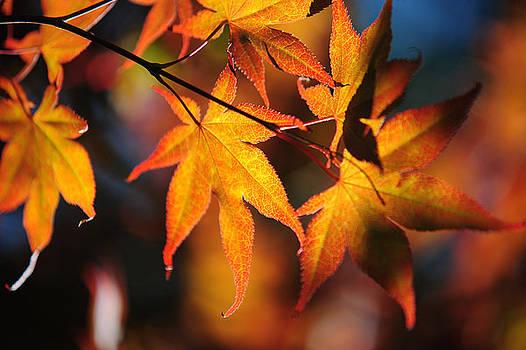 Jenny Rainbow - Japanese Maple Leaves