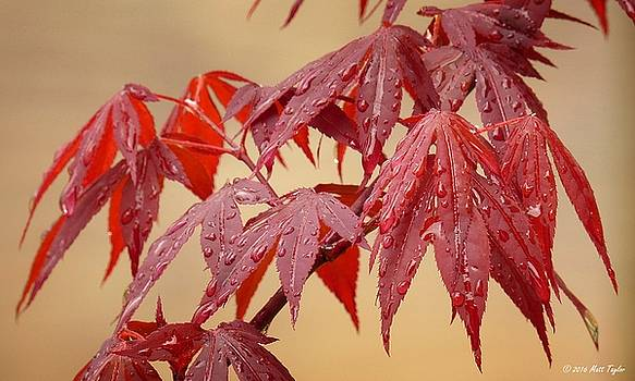 Japanese Maple Under Drizzly Conditions by Matt Taylor